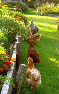 Hens happily foraging alongside raised garden beds - wonderful pest control! (especially since they are managing to keep them out of the garden beds - mine always scratch up small plants!) - LOVE it! <3 #hen #chicken #garden #homestead tå√