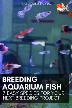 If you're looking for a new aquarium project, trying your hand at breeding might be a good option. But which fish are easy to breed and beginner-proof? Tropical Fish Aquarium, Diy Aquarium, Freshwater Aquarium Fish, Fish Aquariums, Aquarium Aquascape, Aquarium Ideas, Aquascaping, Saltwater Fish Tanks, Saltwater Aquarium