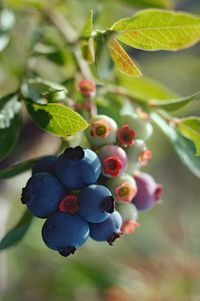 Blueberry bushes can live 50 to 100 years when taken care of properly. This native North American shrub produces sweet blue berries, which are eaten fresh or used in cooking. Many acid-loving plants grow well when planted near blueberry bushes. Growing Blueberries, Canned Blueberries, Wild Blueberries, Blueberry Plant, Blueberry Bushes, Blueberry Companion Plants, Blueberry Farm, Organic Insecticide, Edible Garden
