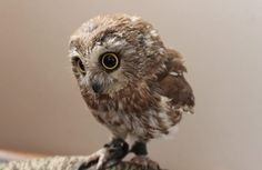 Image viaAn owl knows all the secrets of the forest, but tells them in a voice we cannot understand.Image viaBaby Owl Pictures: Photos of Cute Animals, Young OwlsImage Cute Baby Owl, Baby Owls, Cute Baby Animals, Animals And Pets, Funny Animals, Cute Babies, Funny Owls, Baby Baby, Beautiful Owl