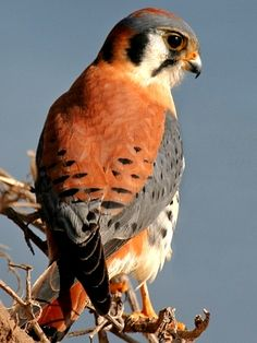 American Kestrel, life is a miracle go green stop pollution, global warming contributed to get you sick, medical research on animals and people are genocide, eat healthy, go green, be smart don't eat shit meat go, go organic veggies and protein from life, http://dammebleustartgate2freedom.blogspot.ca/2013/09/how-to-heal-radiation-and-cancer-with.html