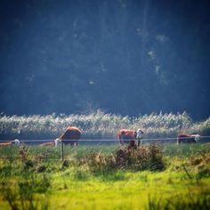 Køer græsser på Helnæs Made  #visitfyn #fyn #visitdenmark #naturelovers #nofilter #natur #denmark #danmark #dänemark #landscape #nofilter #sky #assens #mitassens #vildmedfyn #fynerfin #vielskernaturen #sea #visitassens #instapic #picoftheday #sommer #september #cow #beautiful