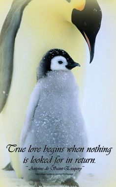 Penguin Love Quotes Gorgeous Penguin Love  Quotes 3  Pinterest  Penguins