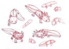 Image result for axolotl drawing study