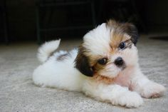 Teacup Shih Tzu Puppies Pictures