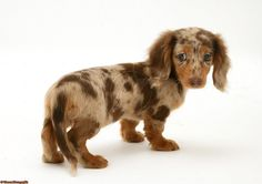 Image detail for -WP30768 Chocolate Dapple Miniature Long-haired Dachshund pup.