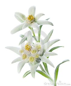 Edelweiss. Not the German national flower, but feels more fitting