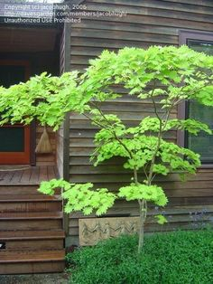 View picture of Full Moon Maple Japanese Maple 'Aureum' (Acer shirasawanum) at D., View picture of Full Moon Maple Japanese Maple 'Aureum' (Acer shirasawanum) at D. Garden Trees, Garden Pots, Green Japanese Maple, Outdoor Plants, Outdoor Gardens, Garden Deco, Garden Features, Small Trees, Small Gardens
