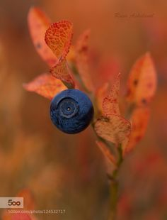 blueberry by RuneAskeland. Please Like http://fb.me/go4photos and Follow @go4fotos Thank You. :-)