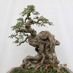 ... bonsai deciduous bonsai bonsai forest bonsai garden bonsai plants rock