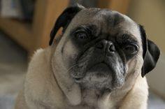 My beautiful pug Spike :)