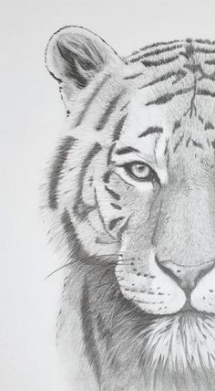 Black and white photography Tigers drawing, Tigers head, Tiger. Cool Art Drawings, Pencil Art Drawings, Art Drawings Sketches, Easy Drawings, Art Sketches, Realistic Animal Drawings, Drawings Of Tigers, Realistic Sketch, Pencil Drawing Tutorials