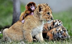 A baby monkey, a lion cub, and two tiger cubs play at the Guaipo Manchurian Tiger Park in Shenyang, China