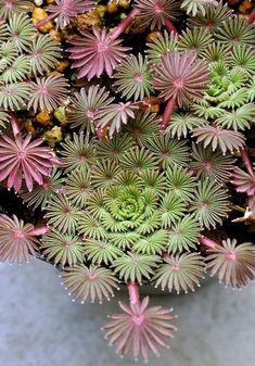 La forme de ces plantes grasses rend fous les Japonais, et on comprend pourquoi !