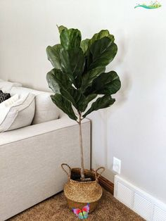 Fig Leaf Tree Basket | 1000 - Modern Fig Leaf Tree Basket | 1000<br> Fig Leaf Tree Basket I found the most affordable faux fig tree for our living room and it fits perfectly. Love the earthy tones it brings to the space! (Shop now AD) #fauxtree #fakeplants #livingroomd Living Room On A Budget, Cozy Living Rooms, Living Room Decor, Bedroom Decor, Fig Leaf Tree, Fig Leaves, Fake Plants Decor, Plant Decor, Living Room Inspiration