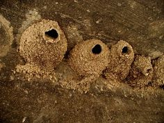 cliff swallow nests-  unmakings
