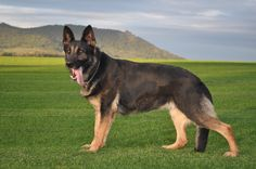 German Shepherd Dog Training Tips