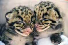 Zoo Miami is beaming about the birth of two highly endangered Clouded Leopard cubs. Since their birth on March the female kittens have been bonding with their mother in a quiet, cozy den. Leopard Kitten, Leopard Cub, Clouded Leopard, Pumas, Cute Baby Animals, Animals And Pets, Animal Babies, Baby Panther, Everything