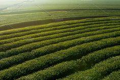 Green tea plantation by salmon.black on @creativemarket