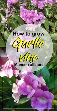How to grow Garlic vine, growing condition garlic vine, Propagation of garlic vine and garlic vine care. The garlic vine is also called false garlic plant. Perennial Flowering Vines, Planting Vines, Planting Flowers, Flowers Garden, Container Plants, Container Gardening, Urban Gardening, Growing Spring Onions, Planting Garlic