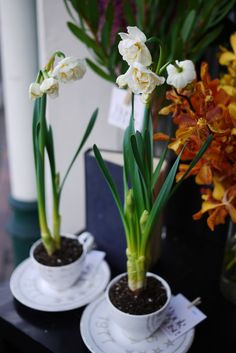 paperwhites in tea cups!
