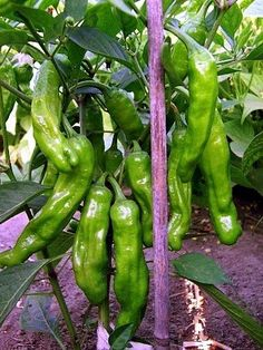 Shishito pepper is a sweet Japanese variety of the species Capsicum annuum