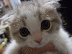 Heart melting kitten face