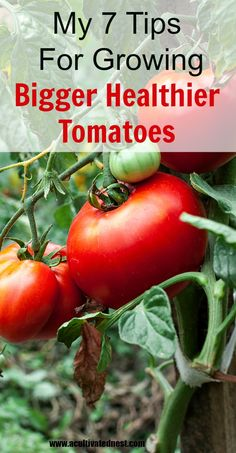 My Tips For Growing Bigger Better Tomtoes-Vegetable Gardening Awesome tips for growing bigger & healthier tomatoes! A perfectly ripe home grown tomato warmed by the sun is NOTHING like the ones you get in the grocery store. Find out how easy it is to grow Backyard Vegetable Gardens, Container Gardening Vegetables, Veg Garden, Vegetable Garden Design, Edible Garden, Lawn And Garden, Garden Container, Garden Shrubs, Planting A Garden