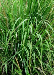 Tip for growing and uses of Lemongrass