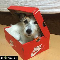 by @misa_k_i Who got new kicks mom?? #jrt #jackrussell #instajrt #jrtlover #dog #mydog #ilovemydog #adoptdontshop