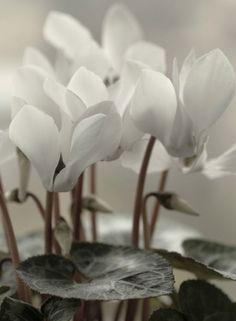 Cyclamen hederifolium Herbst Alpenveilchen Ice Pure White