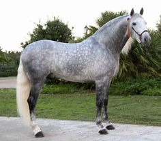 images of dapple grey horses | Grey Beauty, andalusian, dapple, grey, horses, spanish