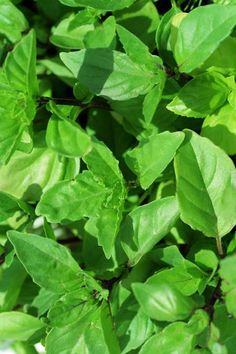Types Of Basil, Cinnamon Basil, Healthy Herbs, Coffee Plant, Spice Things Up, Greenery, Harvest, Plant Leaves, Beans