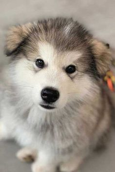 Are you ready for the Awesome Malamute Puppy? These Alaskan Malamute puppies will smack you in the heart. Including 10 awesome facts about this chill breed. Super Cute Puppies, Cute Dogs And Puppies, Adorable Puppies, Doggies, Mutt Puppies, Fluffy Puppies, Alaskan Malamute Puppies, Greenland Dog, Mountain Dogs