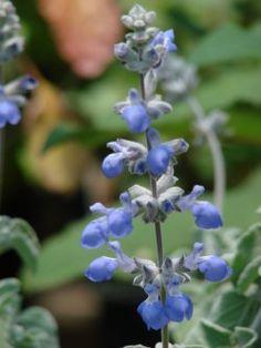 Salvia cedrosensis-Cedros Island sage