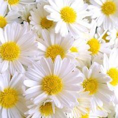 A lot of daisy http://media-cache-ec0.pinimg.com/originals/60/4c/61/604c61a45235ac32e95e42ad735e3c90.jpg