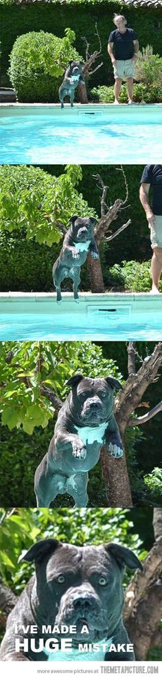 Jump in the pool, they said… #PitBullMemes
