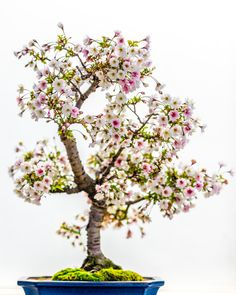 A flowering Cherry Blossom Bonsai <<<< be still my HEART!!!!!  My goodness, absolutely gorgeous! I want one!