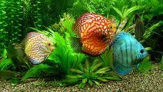 Tropical con peces Disco.