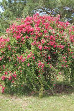 my mom's rose bush