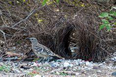 Bowerbird Bower Bird Nest | 6190673445_bff9eb4acb_z.jpg