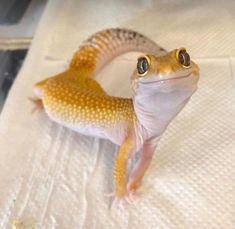 Such a cute gecko – Animals Time Lepord Gecko, Leopard Gecko Cute, Cute Gecko, Leopard Gecko Habitat, Lizard Habitat, Cute Reptiles, Reptiles And Amphibians, Reptiles Preschool, Funny Lizards