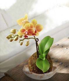 kokedama orchid e violet s jardin pinterest orchid es v nus et sabots. Black Bedroom Furniture Sets. Home Design Ideas