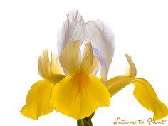 Kunstdruck u.Leinwandbild mit Blumenbild eleganter gelb-weißer Iris