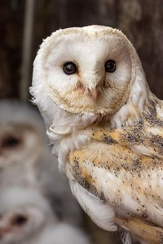 Barn Owl 2 | Flickr - Photo Sharing!
