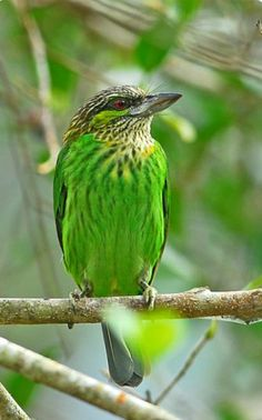 Birds in Thailand: Green-eared Barbet