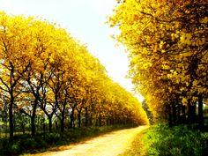 Assuntos do Artigo:caminho de ipêpintura caminhos com ipês amarelosComente Via FaceBook Comentários