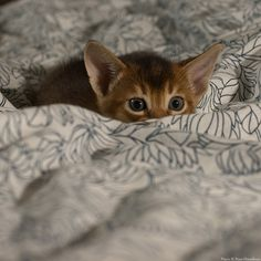 The Girl --- ruddy Abyssinian kitten Cute Cats And Kittens, Baby Cats, Kittens Cutest, Cute Baby Animals, Animals And Pets, Funny Animals, American Curl, Beautiful Cats, Animals Beautiful