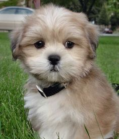 llaso apso puppies | How cute is this little pup?!?!?