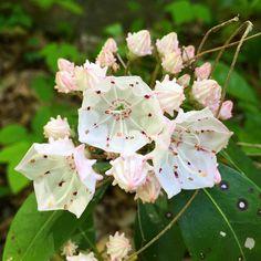 Mountain Laurel returns  #nature_perfection #loveva